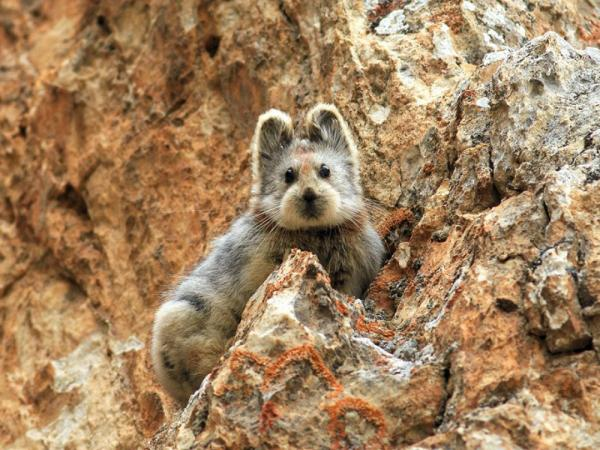 /Files/images/fotografyi/2016/14552810-R3L8T8D-1000-rare-endangered-animal-teddy-bear-magic-rabbit-ili-pika-china-11.jpg